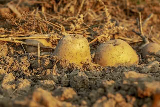 brambory v zemi